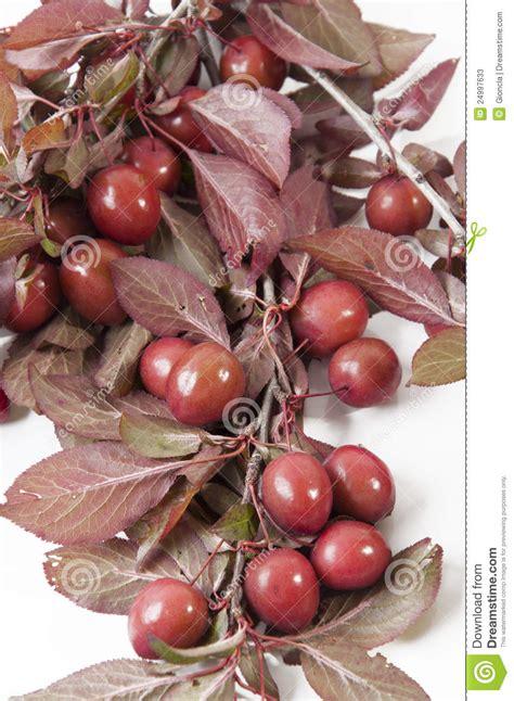 wilde rote pflaumen stockbild bild von frucht knochen