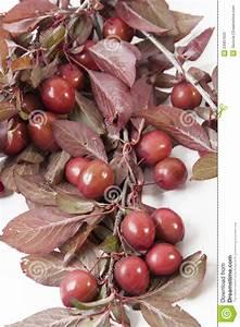 Rote Blätter Baum : wilde rote pflaumen stockbild bild von beeren bl tter ~ Michelbontemps.com Haus und Dekorationen
