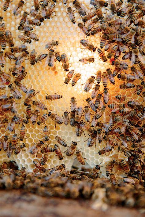comb hive honey bees honeybee worker cross female section keep honeybees few modern beekeeping congregate drones yet modernfarmer