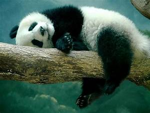 HD wallpapers & Top Quality Pictures: Panda Beautiful Cool ...