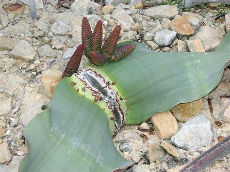 Botanischer Garten Bonn Leiter by Botanik Das Blatt Der Welwitschie Welwitschia Mirabilis