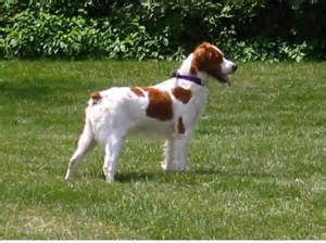 French Brittany Spaniel Shedding by Dakota Country Kennels French Brittany