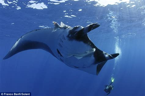 divers give giant manta rays   hydro massage