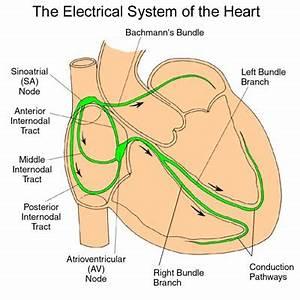 Cardiac Physiology