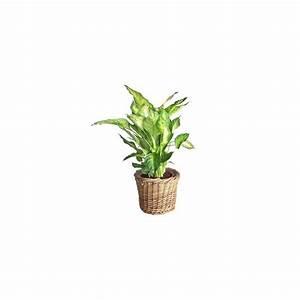 Cache Pot Tressé : dieffenbachia 39 compacta 39 cache pot tress plantes et jardins ~ Teatrodelosmanantiales.com Idées de Décoration