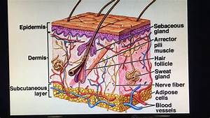 Skin Introduction - Epidermis Layer