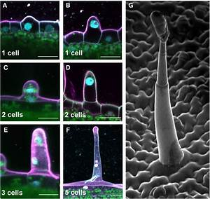 Plant Glandular Trichomes  Natural Cell Factories Of High