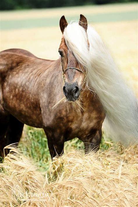 besten haflinger bilder auf pinterest tiere pferde