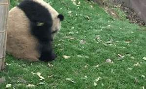 Panda GIFs - Find & Share on GIPHY