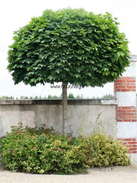 acer platanoides globosum acer platanoides globosum wonderful wooden plants