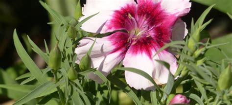 Nelken Für Balkonkästen by Sommernelke Bzw Chinesische Nelke Dianthus Chinensis L