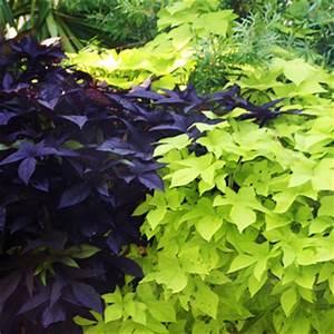 Potato Vine - Ponseti Landscaping