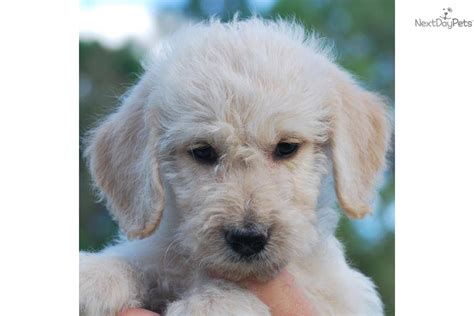 non shedding breeds australia poodle cutest breeds images frompo