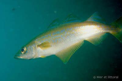 cuisiner le lieu jaune guide poissons le lieu jaune passe à l 39 orange