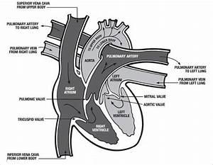 18  Heart Diagram Templates  U2013 Sample  Example  Format