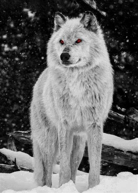 wolf amber eyes animals poster print metal posters