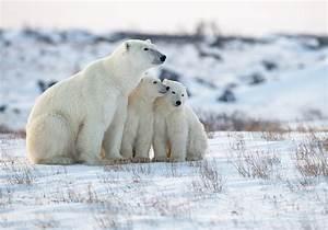 Polar, Bear, Hd, Wallpaper