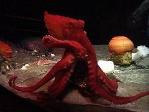 Adventure Aquarium welcomes a juvenile Giant Pacific ...