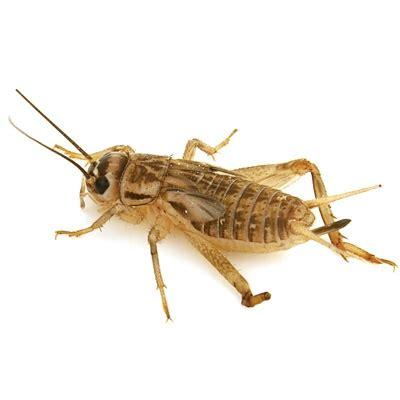 cricket control  phoenix arizona bug guardian pest