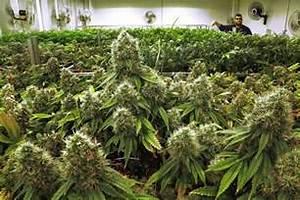 Illinois growers get green light to ship marijuana to