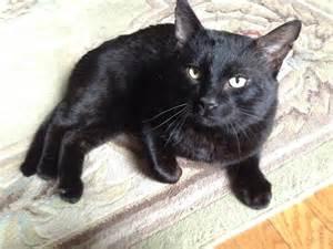 black cat rescue black cat rescue a mission to save black cats