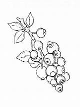 Coloring Blueberry Pages Berries Printable sketch template