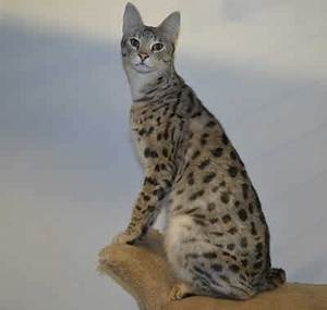 Cats La : f1 savannah cat queens mommies of our f2 savannah kittens for sale ~ Orissabook.com Haus und Dekorationen