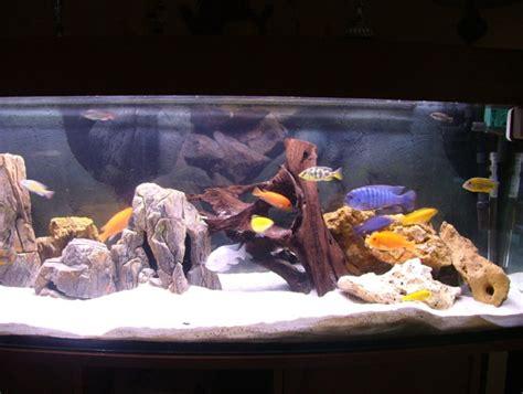 id 233 e d 233 cor aquarium cichlid 233 s malawi