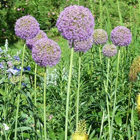 ornamental allium giganteum