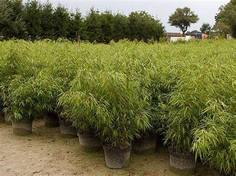 fargesia rufa en pot 25 beste idee 235 n fargesia rufa op fargesia equisetum en bambou fargesia rufa