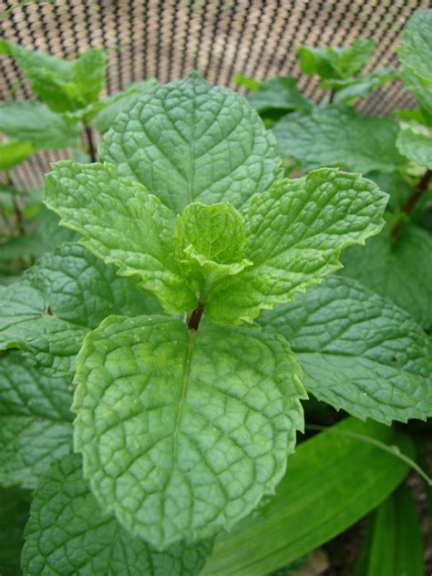 mint plant temperate climate permaculture permaculture plants mint