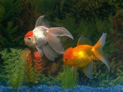 golden fish wallpapers high quality