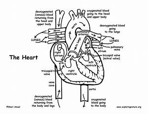Heart Diagram Coloring Page At Getcolorings Com