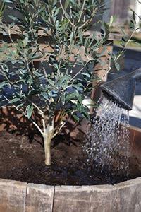 arrosage olivier en pot olivier les soins 224 donner au printemps
