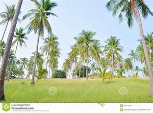 Coconut Tree Garden Stock Photo - Image: 59912258
