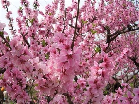 Fiore Flowers by Fiori Pesco Fiori Delle Piante