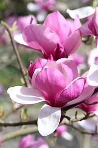 Kleine Gärten Große Wirkung : magnolienb ume gro e wirkung auch in kleinen g rten garten was bl ht als erstes pinterest ~ Markanthonyermac.com Haus und Dekorationen
