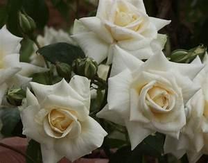 Ilse Krohn Superior : 39 ilse krohn superior 39 rose white climber rose ~ Eleganceandgraceweddings.com Haus und Dekorationen
