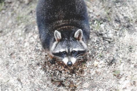 brown  black raccoon photo  stock photo
