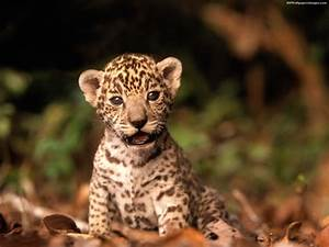 Baby Jaguar Wallpaper - johnywheels.com