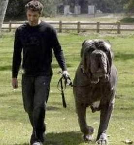biggest bullmastiffs   Animali giganti: foto dei più ...