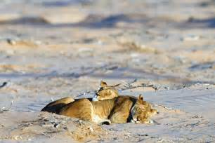 yearbook company namibia s pride desert lions of the skeleton coast