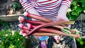 Ab Wann Erdbeeren Pflanzen : rhabarber pflanzen und ernten ab wann bis wann wie ~ Eleganceandgraceweddings.com Haus und Dekorationen