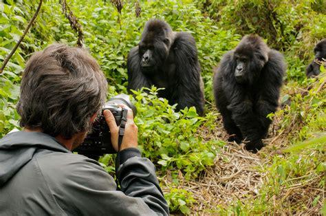 Gorilla Picking Nose