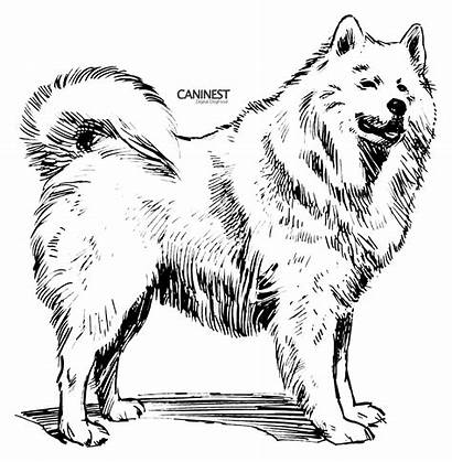 Samoyed Dog Drawing Draw Line Psf Coloring