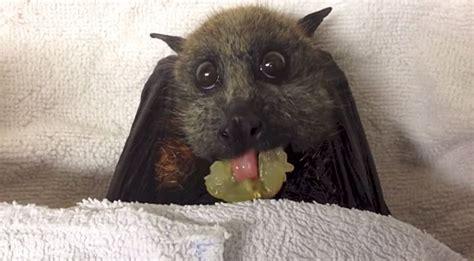 baby bat eating grapes   cuteness overload