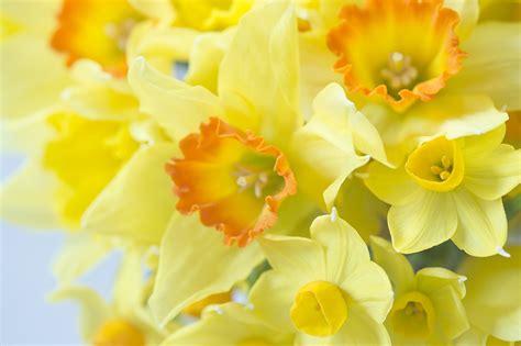 Wallpaper Yellow Macro Flowers Narcissus Closeup
