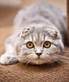 scottish fold cat for 10 scottish fold cat facts scottish fold