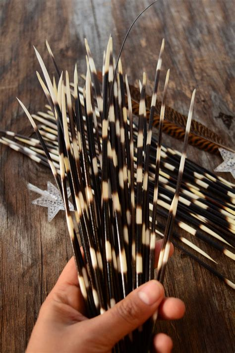 porcupine quills authentic african porcupine quills 5 pieces black white nature beads