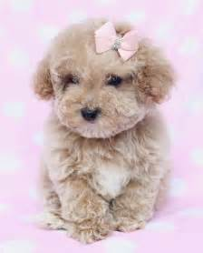Teacup Toy Poodle Puppies for Sale